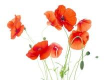 虞美人用种子荚和芽(罂粟属Rhoeas) 库存图片