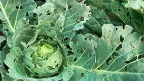 虫害特写镜头损坏的圆白菜 圆白菜头和叶子在孔的,吃由幼虫蝴蝶和 股票视频