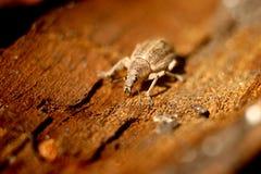 虫甲虫,象鼻虫甲虫不同  免版税库存图片