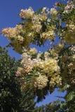 虹光花树 库存图片