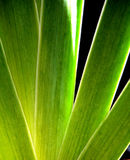 虹膜叶子 免版税库存图片
