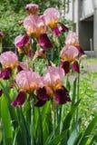 虹膜在春天 与精美瓣的五颜六色的虹膜花 图库摄影