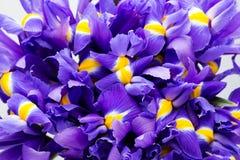 虹膜开花背景,春天花卉patern 免版税库存图片