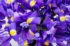 虹膜开花背景,春天花卉patern 库存图片