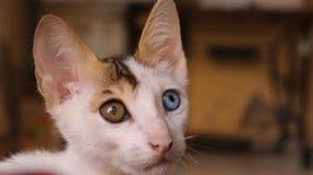 虹膜异色症猫 库存照片