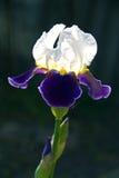 虹膜紫罗兰 库存照片