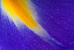 虹膜紫色黄色 库存图片