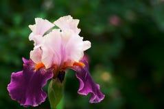 虹膜紫色 免版税库存照片