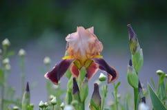 虹膜花和芽 图库摄影
