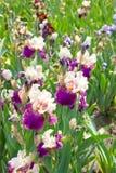 虹膜花在初夏 免版税图库摄影