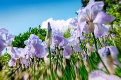 虹膜花田在一个晴天 免版税库存图片