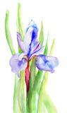 虹膜花,水彩例证 免版税库存图片