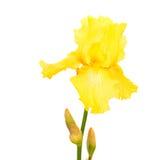 虹膜黄色 库存图片