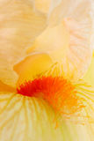 虹膜黄色 库存照片