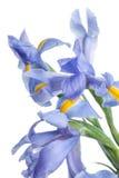 虹膜 在轻的背景的美丽的花 免版税图库摄影
