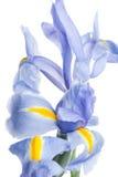 虹膜 在轻的背景的美丽的花 免版税库存照片