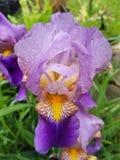 虹膜紫色黄色 免版税库存图片