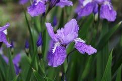虹膜紫色 库存照片