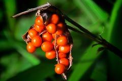 虹膜Foetidissima |发恶臭的Gladwyn 免版税库存照片
