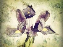 虹膜reticulata花卉纹理作用 免版税图库摄影