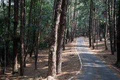 虽则路杉木森林 免版税库存照片