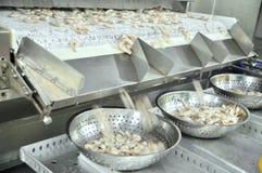 虾为出口被剥皮并且结冰并且估量在海鲜工厂在越南 免版税库存照片