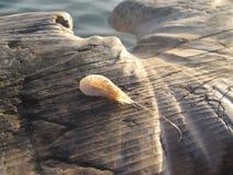 虾和木头纹理 图库摄影