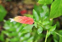 虾植物桃红色和橙色花和绿色叶子 免版税库存图片