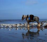 虾渔夫的马在富兰德,比利时 免版税库存照片
