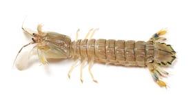 虾蛄 免版税库存图片