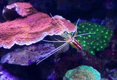 虾-更加干净的太平洋 库存照片
