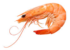 虾 免版税图库摄影