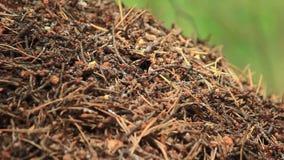 蚁丘和它的inhabitans蚂蚁 股票视频