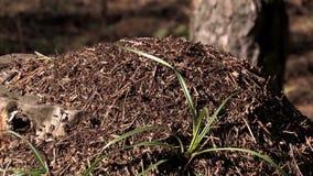 蚁丘和蚂蚁 影视素材