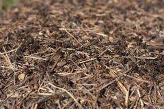 蚁丘在有蚂蚁照片的森林里 库存照片