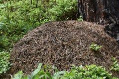 蚁丘在森林里,捷克 免版税库存图片