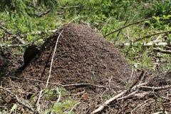 蚁丘在森林里 免版税图库摄影