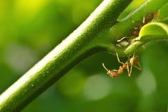 蚂蚁两 库存图片