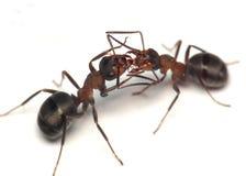 蚂蚁亲爱的哦二 免版税库存照片