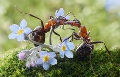 亲吻在花(实际哺养)的蚂蚁 免版税库存图片