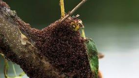 蚂蚁从洪水的殖民地逃命在树 免版税库存图片