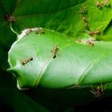 蚂蚁使他们编织套入 库存图片
