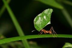 蚂蚁剪切叶子 免版税库存照片