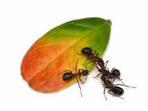 蚂蚁叶子 免版税库存图片
