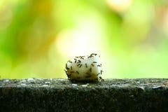 蚂蚁吃在墙壁上的食物 库存图片