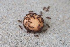 蚂蚁吃 免版税库存图片