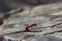 蚂蚁吠声桦树s结构树白色 免版税库存照片