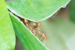 蚂蚁和叶子 一起概念团队工作 图库摄影