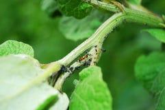 蚂蚁和它的蚜虫 库存照片