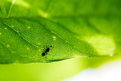 蚂蚁和昆虫在一片绿色叶子 免版税库存图片